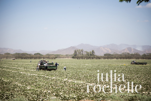 cantaloupe farming Costa Rica