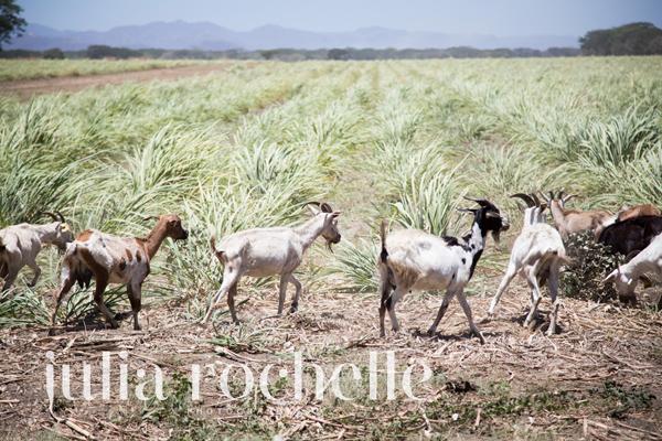 goats cantaloupe farm Costa Rica