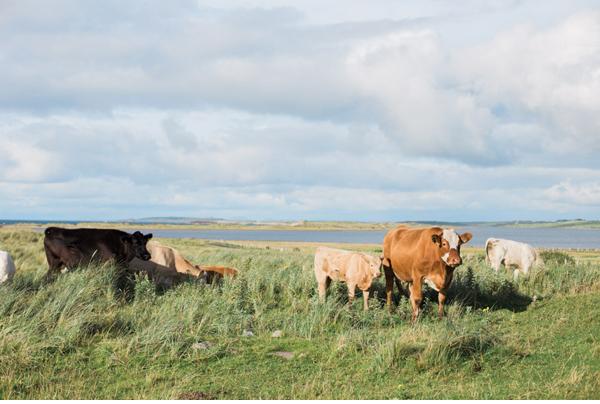 cows Irish farmland